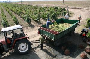 Grapes Harvest Tour Packages